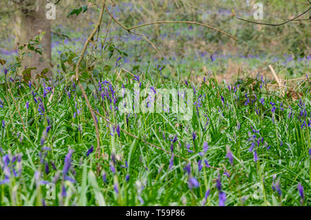 Bluebells growing in a woodland in the Shropshire countryside in April in spring time. - Stock Image