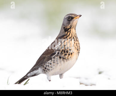 Fieldfare (Turdus pilaris) standing side-on in a snow-covered field - Stock Image