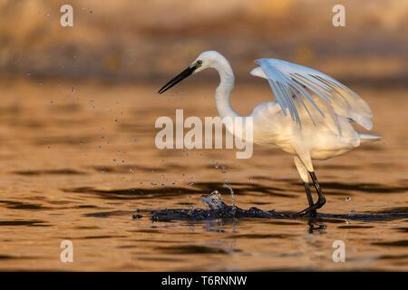 Great egret (Ardea alba), Chobe river, Botswana, August 2018 - Stock Image