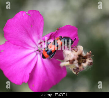 Bee killer beetle Feeding on rose campion Hungary June 2015 - Stock Image