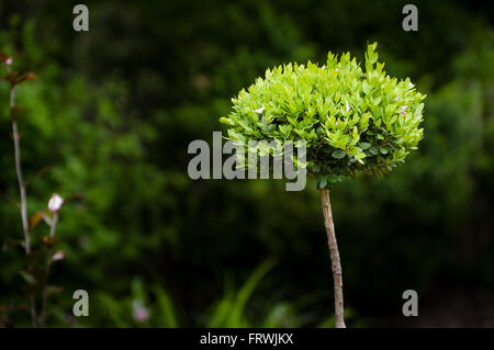 New leaves flourish on a small ornamental bush - Stock Image