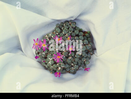 A flowering succulent Conophytum minutum - Stock Image
