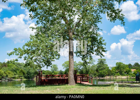 A tall cottonwood tree, Populus deltoides, of the poplar species, in Kansas, USA. - Stock Image