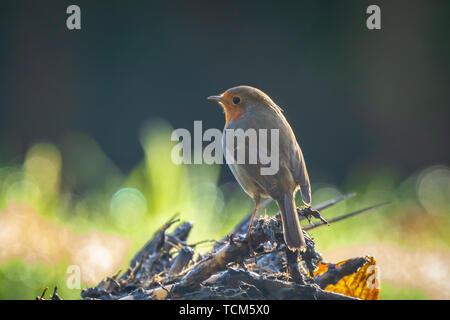 European robin (Erithacus rubecula) bird singing in sun rays sunlight during mating season in Spring. - Stock Image