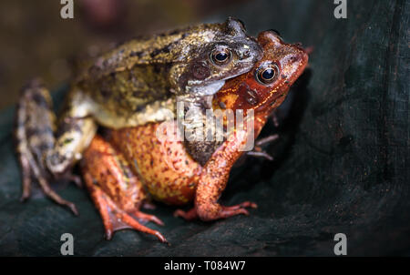 European frogs mating, the female displaying an unusual red skin colour. - Stock Image