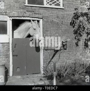 1964 horse in stables, looking at a parrot sitting outside on its perch, england, UK. - Stock Image