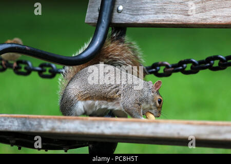 NEW YORK, NY - JULY 10: Squirrel holds a peanut on a bench in Washington Square Park in Manhattan on JULY 10th, 2017 in New York, USA. - Stock Image