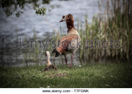 A nil goose looks into the lake - Stock Image