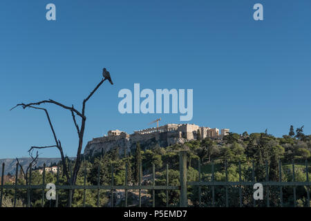 White Dove sat on a Branch in front of the Athenian Acropolis surrounded by Blue Skies, Athens, Greece. - Stock Image