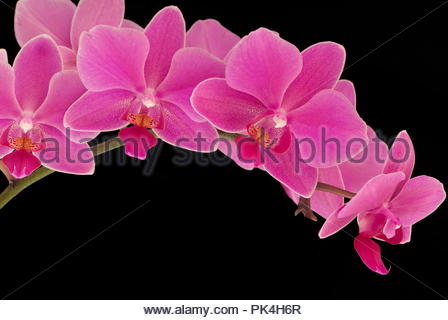 Purple Torito Orchid Over Black Background - Stock Image