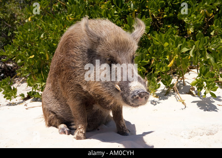 Wild boar sitting in the sand on an island in the Exumas Bahamas - Stock Image