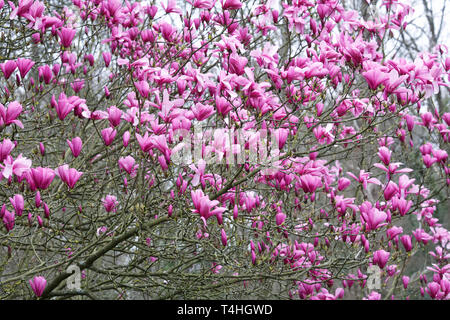 Magnolia blossoms in Spring. - Stock Image