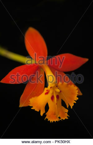 Wild Orchid With Stamen That Looks Like Merlin - Stock Image