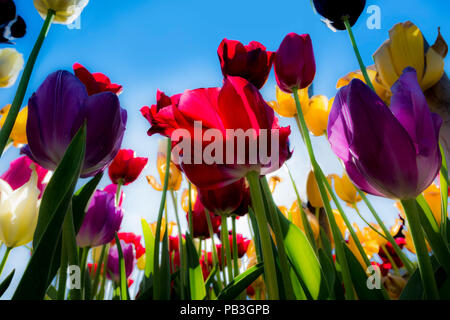 looking up at tulips,spring,england,uk - Stock Image