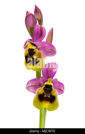 Two bright and coloured flowers of wild Sawfly orchid (Ophrys tenthredinifera subsp. ficalhoana) isolated over a white background. Arrabida mountains, - Stock Image