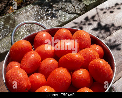 Freshly picked and washed tomatoes in a collander in the sunshine. - Stock Image