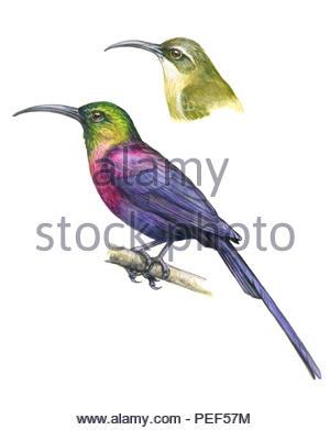 takazze-nectar bird nectarinia tacazze - Stock Image