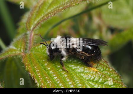 Ashy mining bee (Andrena cineraria) sitting on bramble leaf. Tipperary, Ireland - Stock Image