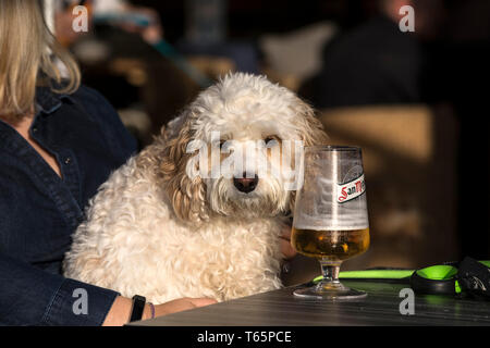 A drunk looking dog sitting at a table with a San Miguel beer. - Stock Image