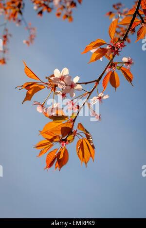 Flowering branch of a Cherry Blossom (Prunus serrulata) tree in Spring. - Stock Image