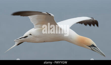 Close up of flying northern gannet (Morus bassanus) is preparing to land on helgoland, germany - sea in the background - Stock Image