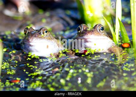 Hailsham, UK. 25th Feb 2019. Masses of Common frogs (Rana temporaria) congregate today among piles of spawn in Hailsham, East Sussex, UK. Credit: Ed Brown/Alamy Live News - Stock Image