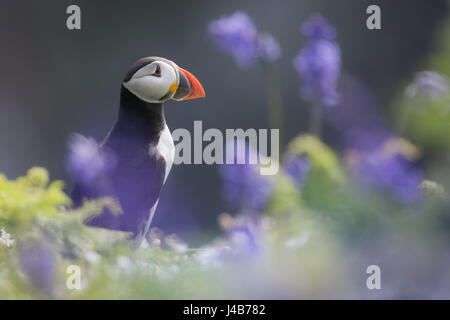 Atlantic Puffin (Fratercula arctica) stood among Bluebell flowers at the Wick, Skomer Island, Pembrokeshire, Wales - Stock Image