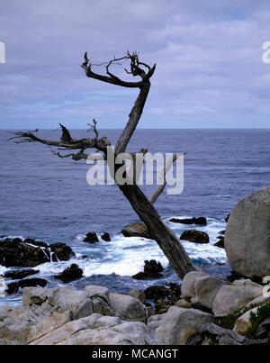 Scraggly cypress tree on the central California coast - Stock Image