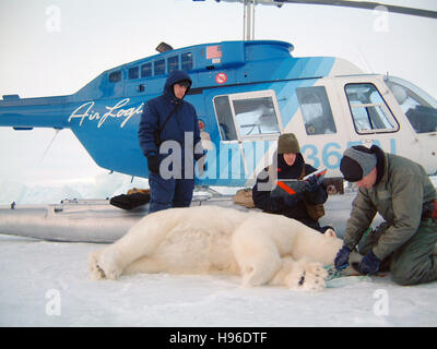 Biologists examine a polar bear captured during the Arctic Fall October 24, 2001 in Alaska. - Stock Image