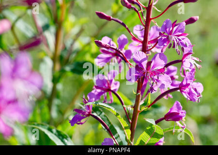 Rosebay Willowherb (epilobium angustifolium), close up of a group of back-lit flowers and buds. - Stock Image