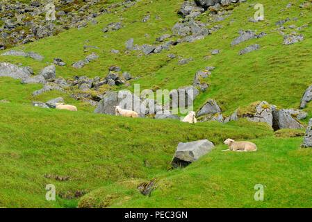 Sheep among boulders in the grass, Uttakleiv beach, Lofoten Archipelago, Norway 180703_68718 - Stock Image