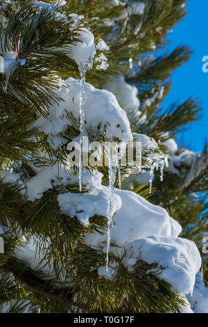 Ice sickles hang from needles holding snow of Ponderosa Pine tree on cold clear morning, Castle Rock Colorado US. Photo taken in March. - Stock Image