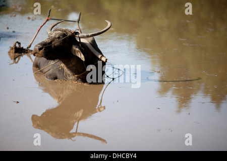 A carabao rests during a break period while working to level a rice field near Mansalay, Oriental Mindoro, Philippines. - Stock Image