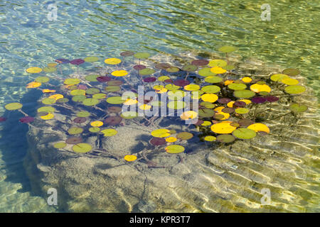The green, yellow and other colors of the leaves of aquatic plant form an autumn mosaic in the waters of the pond - Stock Image