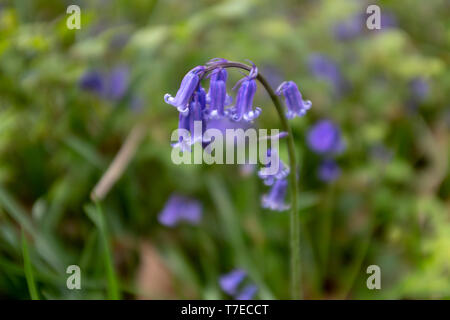 Close up of a Bluebell flower in England - Stock Image