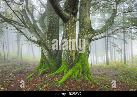 botany, beech forest in autumn, Switzerland, Additional-Rights-Clearance-Info-Not-Available - Stock Image