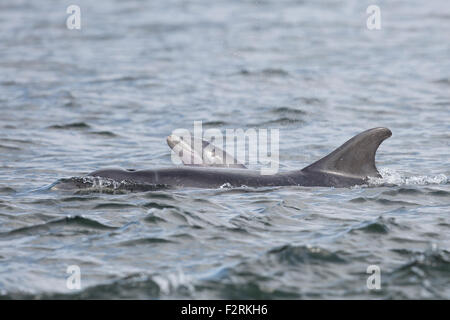 Bottlenose Dolphin with new-born calf - Stock Image