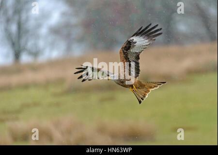 Red kite (Milvus milvus) adult in flight in rain shower. Powys, Wales. November. - Stock Image