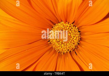 Orange open flower background - Stock Image