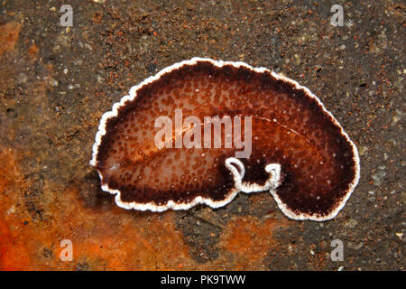 Marine Flatworm. Appears to be an undescribed species, possibly Acanthozoon or Thysanozoon.Tulamben, Bali, Indonesia. Bali Sea, Indian Ocean - Stock Image
