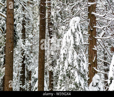 Close-up on snow-covered coniferous trees in Yosemite National Park, California, USA, bent with the weight of the snow, - Stock Image