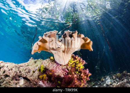 Mushroom Leather Coral growing in Mangroves, Sarcophyton, Lissenung, New Ireland, Papua New Guinea - Stock Image