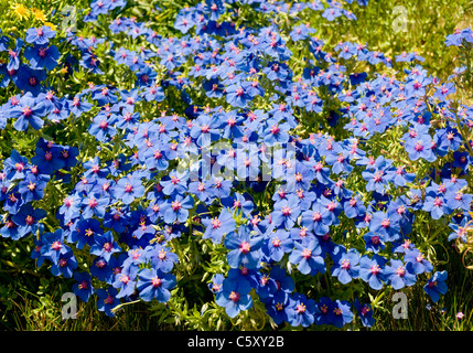 A bed of flowers with blue petals and pink stigmas growing wild in the Algarve, southern Portugal. - Stock Image