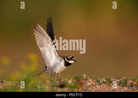 Little ringed plover (Charadrius dubius), landing on the gravel bank, Biosphere Reserve Middle Elbe, Dessau-Roßlau - Stock Image