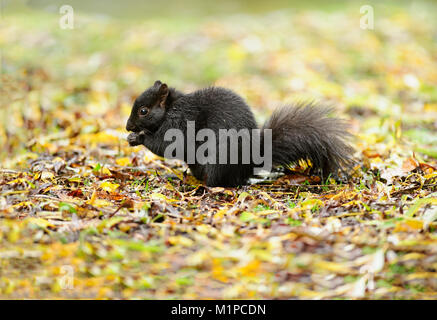 Squirrel black is a cute black squirrel eating in nature. - Stock Image