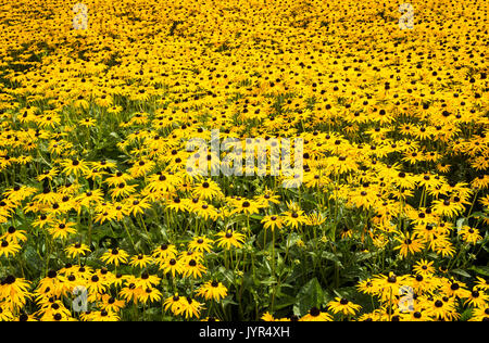 Densely planted yellow coneflower Rudbeckia fulgida var. sullivantii 'Goldsturm' flowers in bloom in Summer - Stock Image