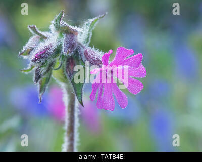 A single Red Campion (Silene dioica) flower with bluebells in the background - Stock Image
