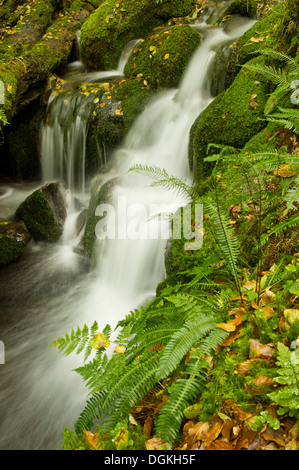 Autumn leaves decorate slopes below the ancient native oaks & beeches of Dendle's Wood on Dartmoor. - Stock Image