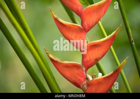 Heliconia in the jungle, Quebrada Valencia, Magdalena, Colombia - Stock Image