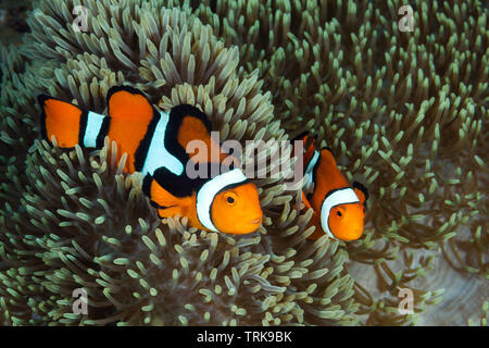 Pair of Clown Anemonefishes, Amphiprion percula, Lissenung, New Ireland, Papua New Guinea - Stock Image